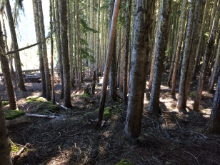 Easy Travel in old-growth-forest